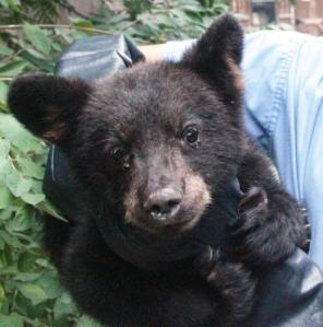 This bear cub was in the Wildlife Center of Virginia's care. Wide awake ... no hibernating for him.