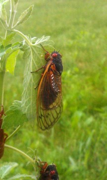 Here's a cicada, ready for anything!