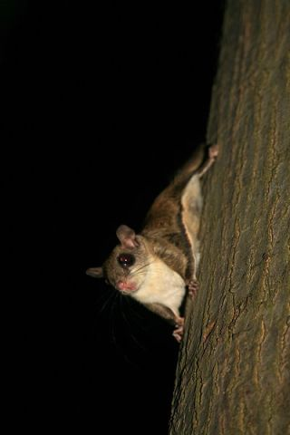 An actual flying squirrel