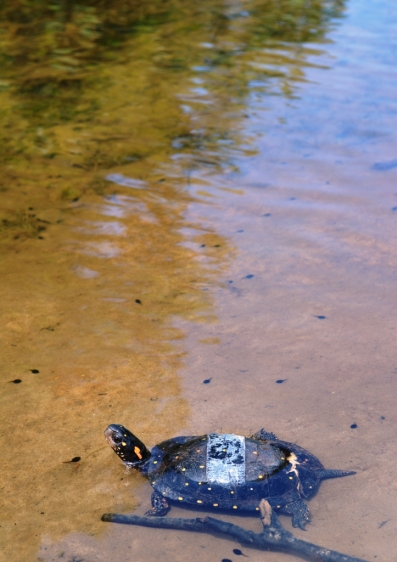 turtle stickum