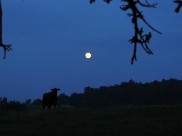 Supermoon Cow
