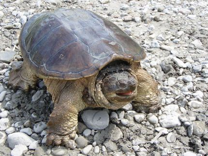 Snapping_turtle_posturing