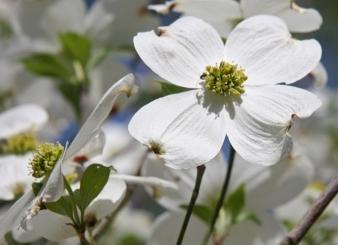 Dogwood_flower_branchlet